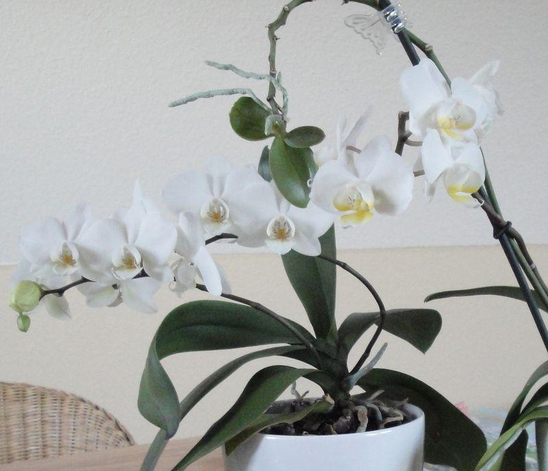 Orchideen+ableger